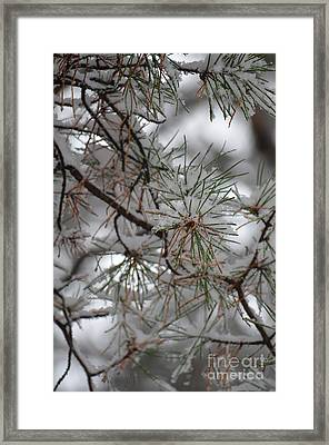 Winter Pines Framed Print