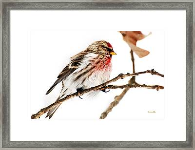 Winter Redpoll Framed Print by Christina Rollo