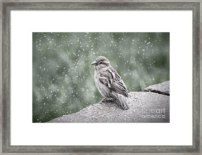Winter Sparrow Framed Print
