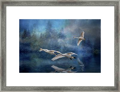 Winter Swans Framed Print by Brian Tarr