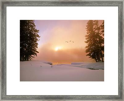 Winter Swans Framed Print