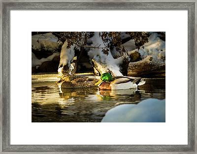 Winter Visitors - Mallard Ducks Framed Print by TL Mair