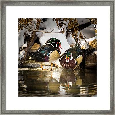 Winter Visitors - Wood Ducks Framed Print
