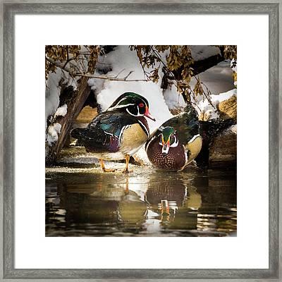 Winter Visitors - Wood Ducks Framed Print