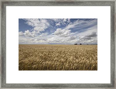 Winter Wheat Conway Springs Ks Framed Print by Chris Harris