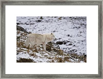 Winter Wolf Framed Print by Michael Cummings