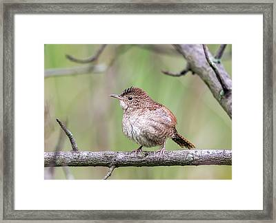 Winter Wren Framed Print by Wes Iversen