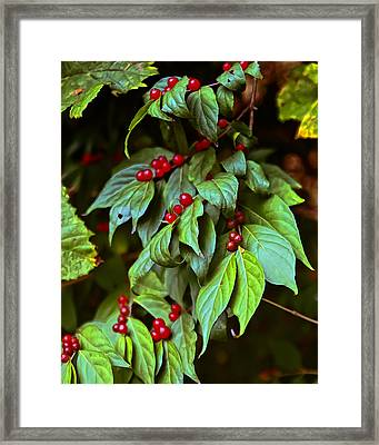 Winterberry Framed Print by Michael Putnam