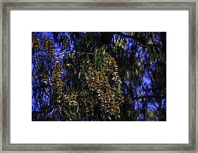 Wintering Monarchs Framed Print by Garry Gay