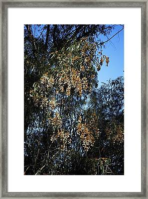 Wintering Monarchs In Eucalyptus Framed Print by Mary Lee Dereske