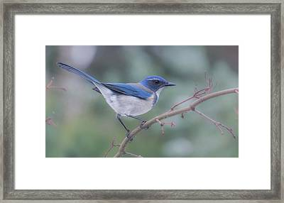 Framed Print featuring the photograph Wintering Scrub Jay by Angie Vogel