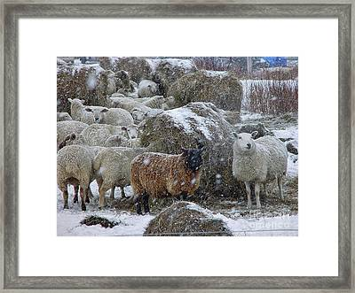 Wintering Sheep Framed Print