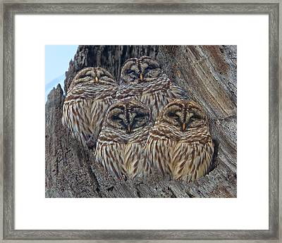 Wintry Barred Owls   Framed Print