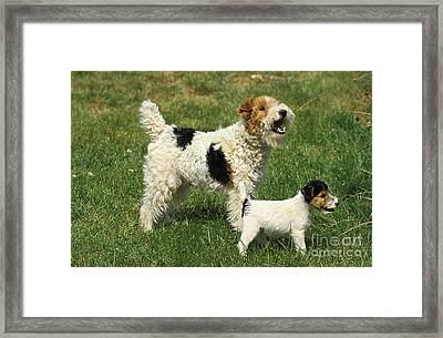 Wire-haired Fox Terrier Framed Print by Gerard Lacz