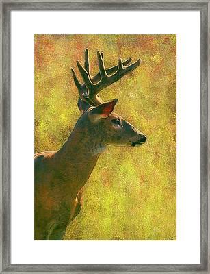 Wisconsin White Tail Buck Framed Print by Jack Zulli