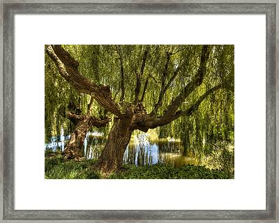 Wisdom Willow Framed Print by Coby Cooper