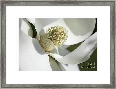 Wispy White Magnolia Grandiflora Framed Print by Carol Groenen
