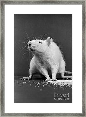 Wistar Rat Framed Print by Science Source
