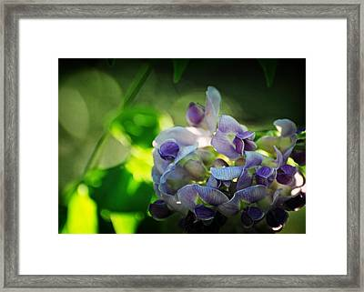 Wisteria Frutescens Amethyst Falls Framed Print by Rebecca Sherman