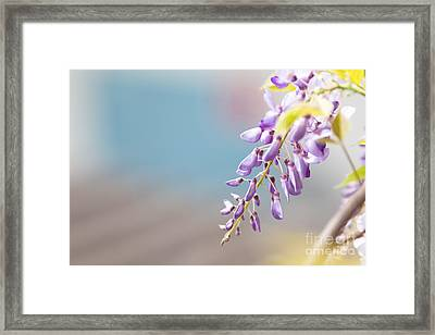 Wisteria In Front Of Blurred Background Framed Print