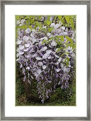 Wisteria In Full Bloom Framed Print