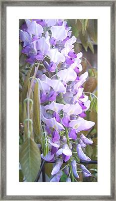 Wisteria Framed Print by Jean Booth