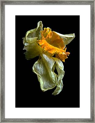 Withering Daffodil Framed Print by Elsa Marie Santoro