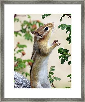 Within Reach - Chipmunk Framed Print