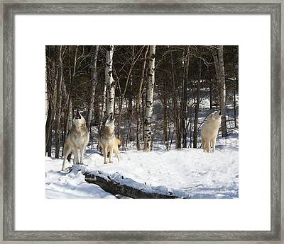 Wolf Choir Framed Print by Gerry Sibell