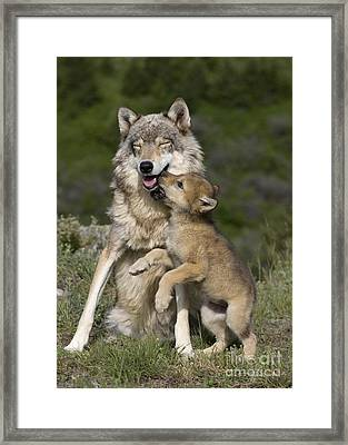 Wolf Cub Begging For Food Framed Print
