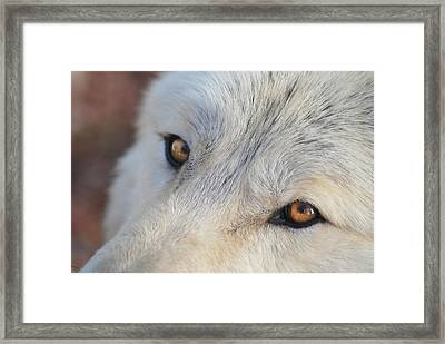 Framed Print featuring the photograph Wolf Eyes by Carolyn Dalessandro