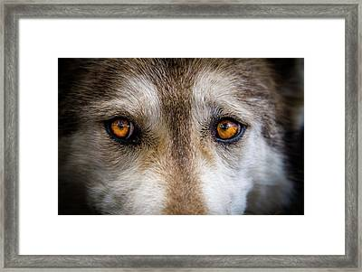 Framed Print featuring the photograph Wolf Eyes by Teri Virbickis
