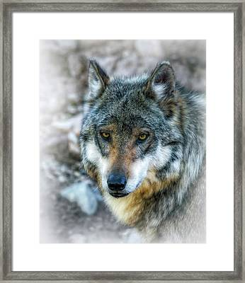 Wolf Gaze Framed Print