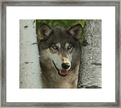 Wolf In The Birch Trees Framed Print