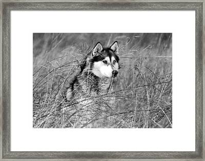 Wolf In The Grass Framed Print by Kyle Gray
