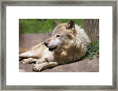 Framed Print featuring the photograph Wolf by JT Lewis