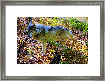 Wolf On The Prowl Framed Print