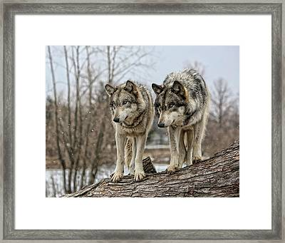 Wolf Pair Framed Print