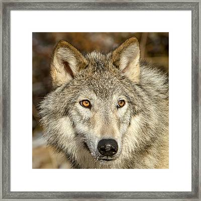 Wolf Portrait Framed Print by Jack Bell