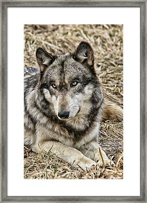 Framed Print featuring the photograph Wolf Portrait by Shari Jardina