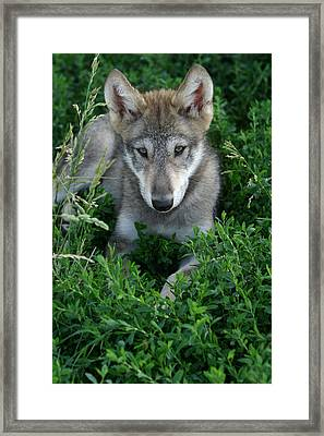 Wolf Pup Portrait Framed Print by Shari Jardina