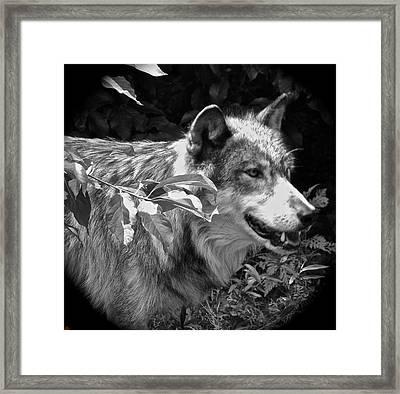 Wolf Run Framed Print by Debra     Vatalaro