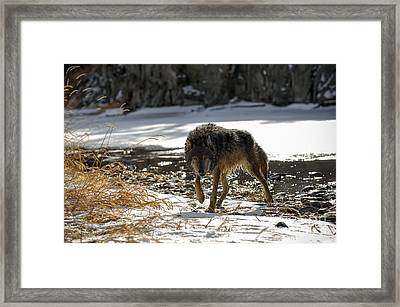 Wolf Winter Framed Print by Wildlife Fine Art