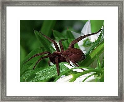Wolfe Spider Framed Print