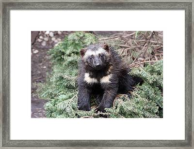 Wolverine - Kit - 0009 Framed Print