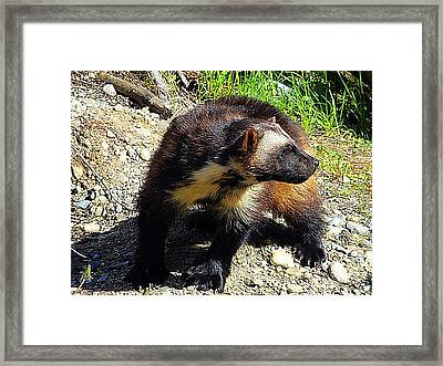 Wolverine Wilderness Framed Print by Kathy Kelly