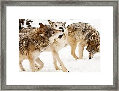 Wolves At Play Framed Print by Melody Watson