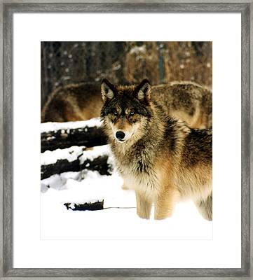 Wolves In The Snow Framed Print by PhotographyAssociates