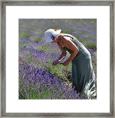 Woman Collects Lavender Framed Print