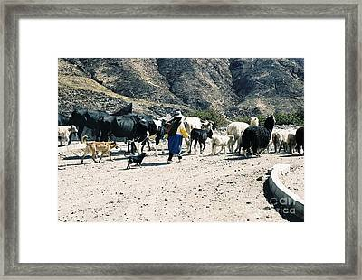 Woman Leading Cattle In Chile Framed Print by Trude Janssen